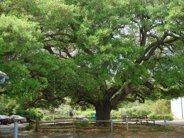 live-oak-002