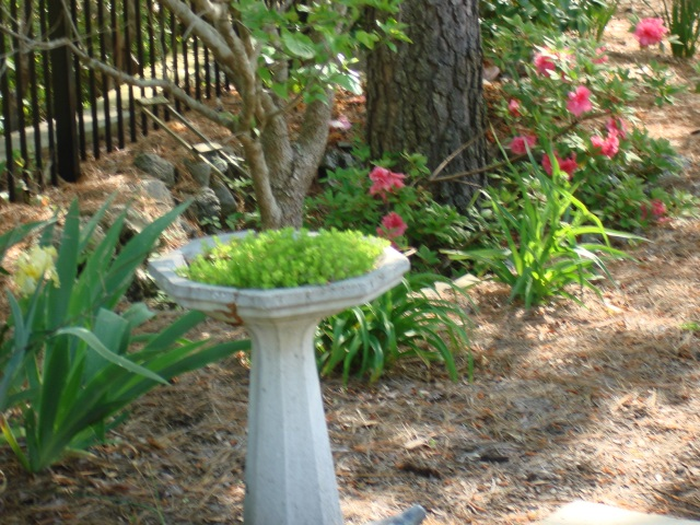 Behind the cracked birdbath now used as a planter is a treewell with Encore azalea, dogwood, and pine tree inside.  Uh oh.  (sigh) Spiderworts at 3:00!