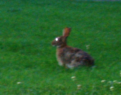thievin evil-eyed rabbit