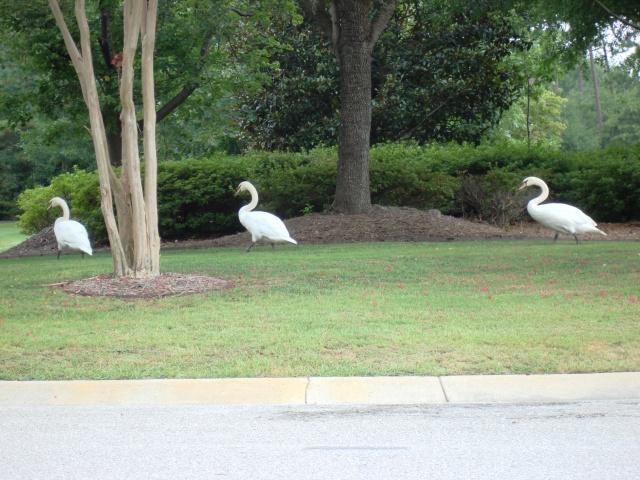 swans 004